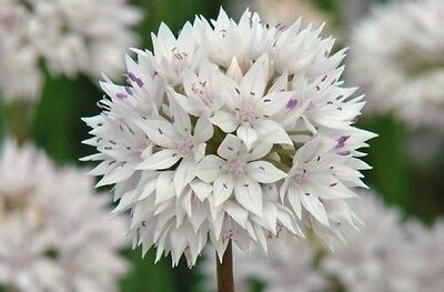 Allium Amplectens ( Lovely rounded pale pink umbels )  20+ Fresh Seed