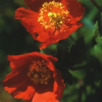 Meconopsis /'Francess Perry/' *x150 fresh 2019 seeds.