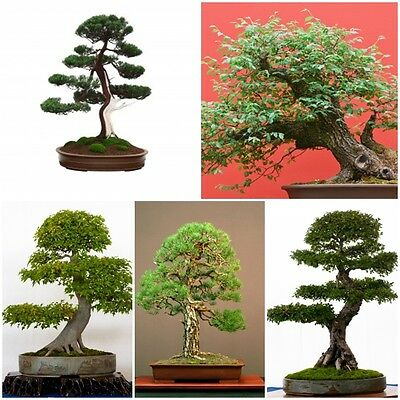 Bonsai Seed Collection 1 - 5 Packets. Best selling Bonsai species. Save 30% !