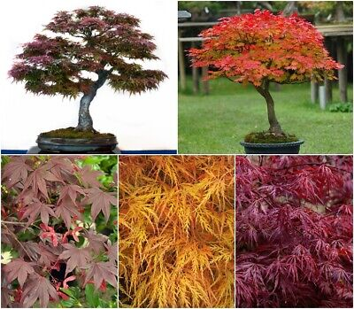 Japanese Maple Seed Collection - 5 Packets - Beautiful trees ideal for Bonsai.