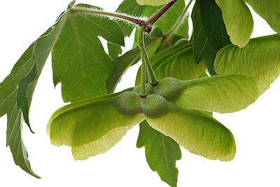 Acer griseum (Paperbark Maple) - 10 seeds. Fine Species from China.
