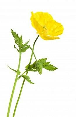 Meconopsis cambrica (Welsh Poppy) - Flowers May to October - 40 seeds