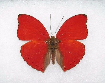 One Real Butterfly Red African Cymothoe Sangaris Unmounted Wings Closed