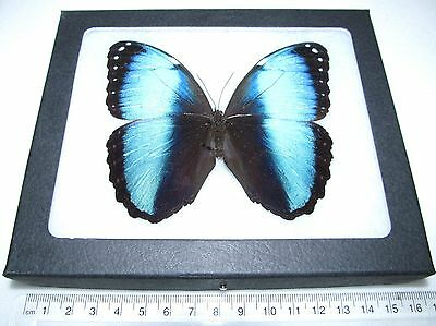Real Framed Butterfly Blue Morpho Achilles Peru
