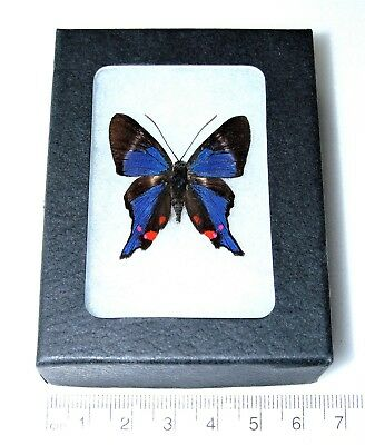Real Blue Purple Peruvian Rhetus Periander Framed Butterfly Insect
