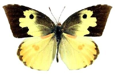 One Real Arizona Dogface Zerene Cesonia Butterfly Unmounted Wings Closed