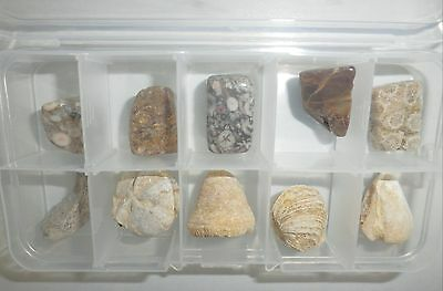 10 Marine Fossil Specimen Collection SET (in clear plastic box - 5 polished)