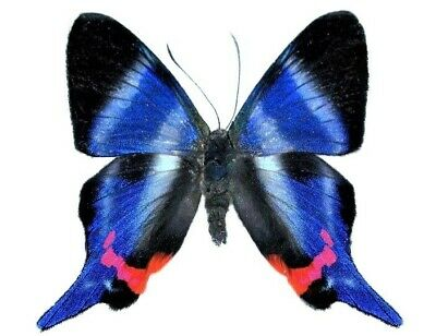 One Real White Blue Peruvian Rhetus Dysonii Butterfly Unmounted Wings Closed