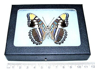 Real Arizona Sister Adelpha Verso Framed Butterfly Insect