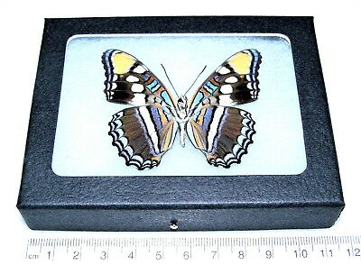 Real Framed Butterfly Blue Adelpha Eulalia Arizona Sister Verso