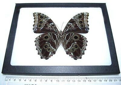 Real Peruvian Morpho Deidamia Verso Framed Butterfly Insect