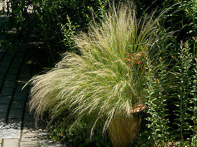 Stipa tenuissima Pony Tails - 25 seeds. Graceful Mexican Ornamental Grass