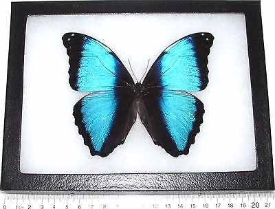 Real Blue Peruvian Morpho Deidamia Framed Butterfly Insect