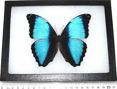 Real Framed Butterfly Blue Black Morpho Deidamia Peru