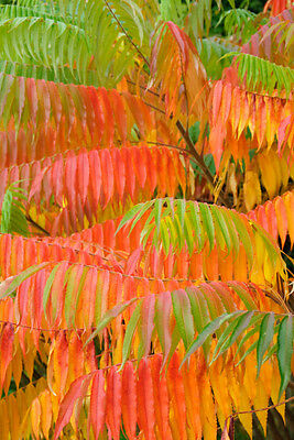 Rhus typhina (Stag's Horn Sumach) - Large/Trade Packet - 100 seeds.