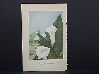 Botanicals, Flowers, One Double Sided Print c.1927 #01 Calla Lily/ Night Cereus