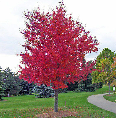 Acer Rubrum 25 Seeds - Red Maple - Bonsai Subject