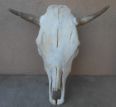 """NEW 19 1/2"""" wide STEER SKULL HORN,LONG,cow,bull,Mexico,WHITE taxidermy,head,IN"""