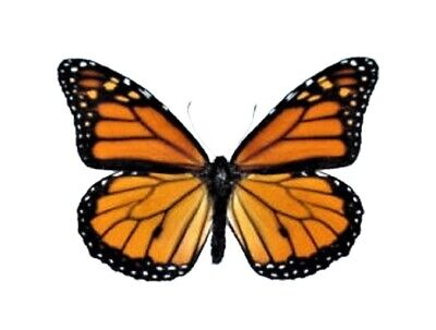 One North American Monarch Danaus Plexipus Butterfly Wholesale Wings Closed