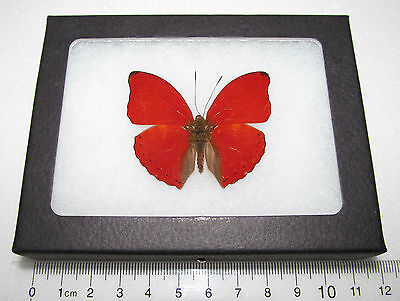 Real Red African Cymothoe Sangaris Framed Butterfly Insect