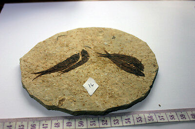 "B.J.F.  Super Med  Fossil  Fish  ""Knightia:  From  Wyoming  USA .1"
