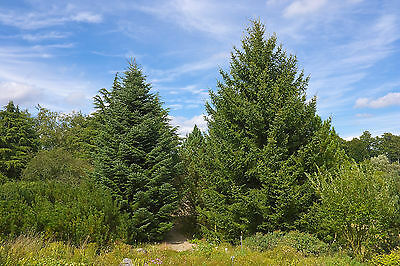 Abies cephalonica GREEK FIR Tree Seeds!