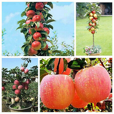 Lots 20PCS Bonsai Apple Tree Seeds Home Yard Outdoor Living Fruit Plant Seeds