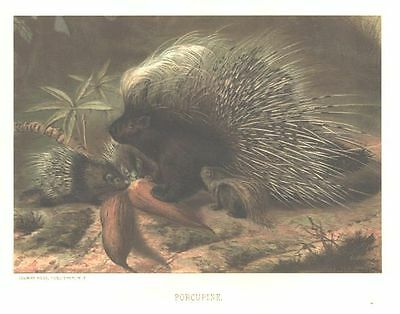 PORCUPINE & BABY 1885 FULL Color Antique Art Print Scarce Chromolithograph