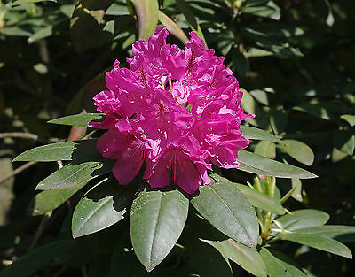 Rhododendron catawbiense CATAWBA RHODODENDRON Seeds!