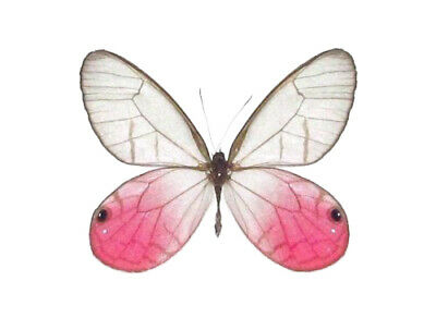 One Real Butterfly Pink Clear Wing Cithaerias Merolina Peru Wings Closed