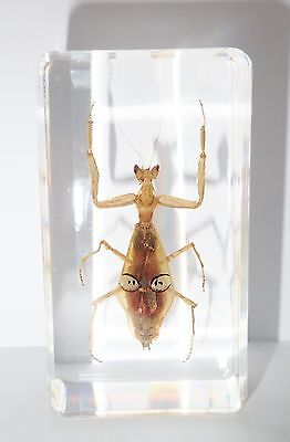 Pointy Eye Mantis Creobroter sp in 73x40x22 mm Block Learning Insect Specimen