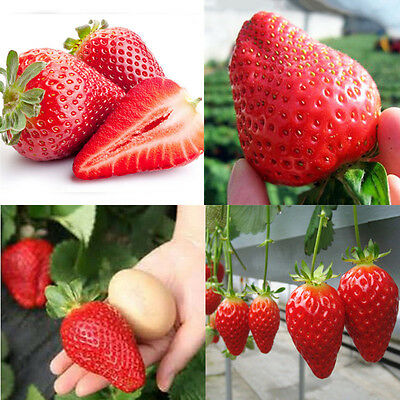150 Pcs Giant Strawberry Seeds Excellent High in Vitamin Fruit Home Garden Decor