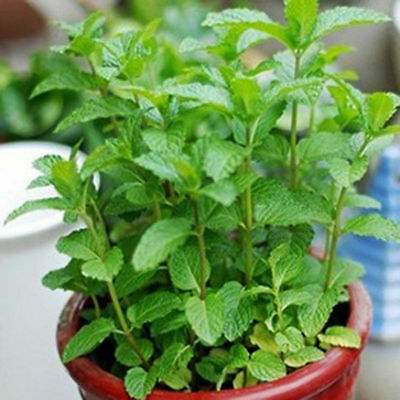 500pcs Spearmint Seeds Mint Mentha Herb Green Home Garden Flower Plant Decor