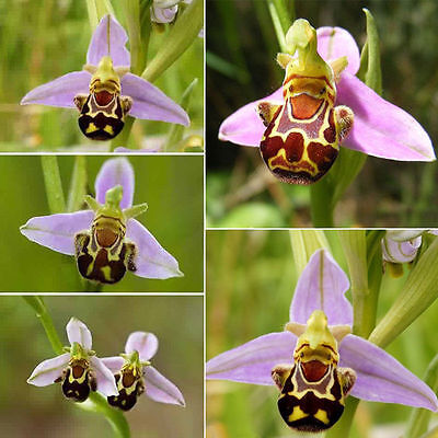 50pcs Rare Smile Face Bee Orchid Flower Seeds Outdoor Garden Plant Seeds Decor