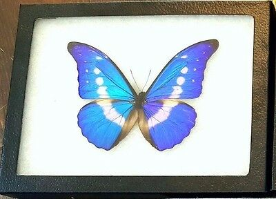 Real Blue Peruvian Morpho Helena Framed Butterfly Insect