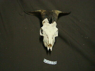 Nice goat skull hill country outdoors SG0288