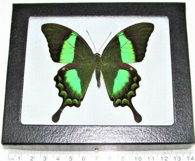 Real Framed Butterfly Blue Green Papilio Palinurus