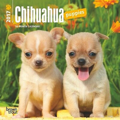 """Chihuahua Puppies 2017 MINI WALL CALENDAR Browntrout Publishers 7"""" X 7"""""""