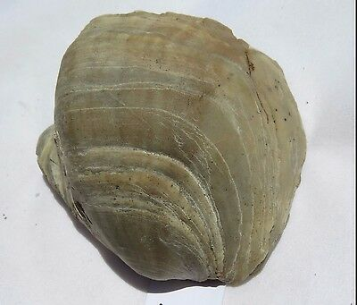 Fossilized Giant Oyster Shell (X19, B7)
