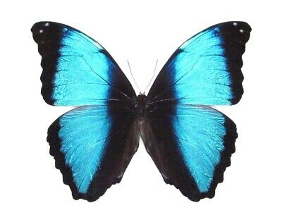 One Real Butterfly Blue Morpho Deidamia Unmounted Papered Wings Closed