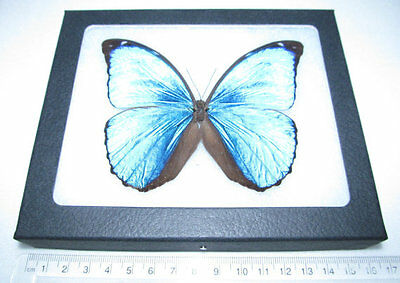 Real Framed Butterfly Blue Peruvian Morpho Menelaus