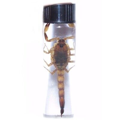 REAL DESERT SCORPION PRESERVED IN GLASS VIAL S2 WET SPECIMEN 2.5in VIAL