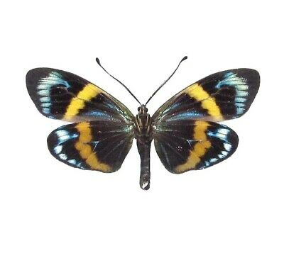One Real Butterfly Blue Eterusia Repleta Moth Papered Unmounted Wings Closed