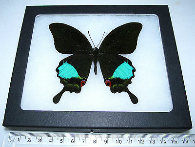 Real Green Blue Papilio Paris Framed Butterfly Insect