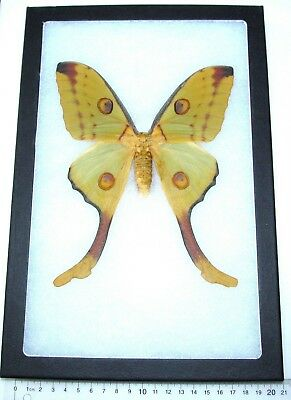 Real Framed Silk Moth Giant Madagascar Argema Mittrei Comet Saturniidae Female