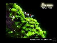 Star Moss - Cherry Crystal Red mosura Bee Shirmp