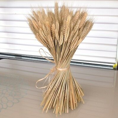 200 Pcs Dried Barley / Wheat Pastoral For Flower Arranging Home