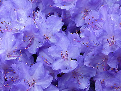 'Blue Diamond' Rhododendron 15-20cm, In 2L Pot  With  Violet-Blue Flowers