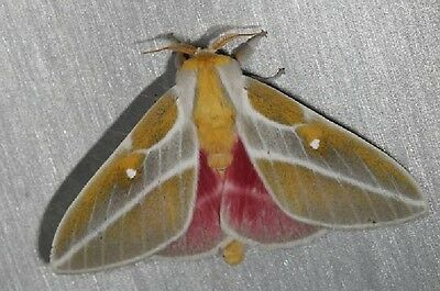 One A1 Sphingicampa Raspa Moth Saturniidae Papered Unmounted Wings Closed