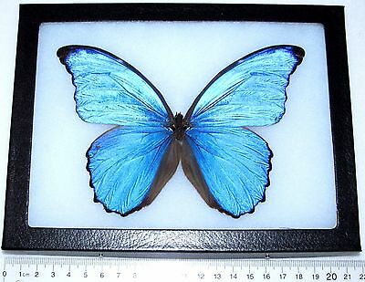 Real Framed Butterfly No Antennae Blue Peruvian Morpho Didius